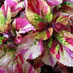 Coleus Glory of Luxembourg