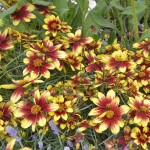Coreopsis Route 66