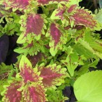 Coleus blumei Chief